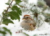"""<div class=""""jaDesc""""> <h4>Tree Sparrow Nestled in Snow - January 20, 2009 </h4> <p>  This Tree Sparrow nestled into the snow on our holly bush to keep her feet warm in zero degree weather.  From this resting spot, she was able to reach sunflower seeds that I had tossed into the snow. </p> </div>"""