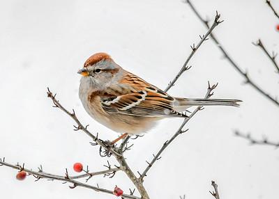 Tree Sparrow in Winterberry Bush - January 18, 2018