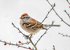 "<div class=""jaDesc""> <h4>Tree Sparrow in Winterberry Bush - January 18, 2018</h4> <p></p> </div>"