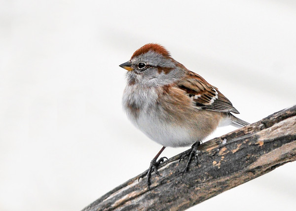 """<div class=""""jaDesc""""> <h4> Tree Sparrow Resting on Perch - January 22, 2016 </h4> <p>This Tree Sparrow looks a bit chubby; he has his feathers fluffed to stay warm.</p> </div>"""