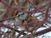 """<div class=""""jaDesc""""> <h4> Tree Sparrow Hiding in Red-twig Dogwood - February 1, 2010 </h4> <p>  Our 4 Tree Sparrows disappeared for awhile.  This one returned and stayed in the thick branching of our red-twig dogwood bushes.  I think the recent presence of hawks has spooked these guys away.</p> </div>"""