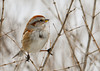 """<div class=""""jaDesc""""> <h4> Tree Sparrow in Dormant Honeysuckle Bush - January 11, 2013 </h4> <p>  We have a dense thicket of about 16 honeysuckle bushes in our backyard.  The Tree Sparrows use them as their approach path to the feeders.  They provide a great place for them to hide from the Sharp-shinned Hawk when he comes around. </p> </div>"""