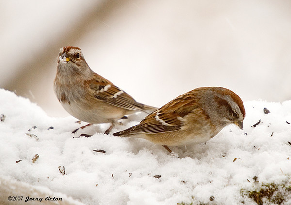 """<div class=""""jaDesc""""> <h4>American Tree Sparrow Pair - December 13, 2007 </h4> <p>  While I was focusing on what I thought was our lone Tree Sparrow, a second one showed up in the lens.  Later I saw a third one, so they are starting to show up for the winter months.  We usually have about 10 to 12 of them by January.</p> </div>"""