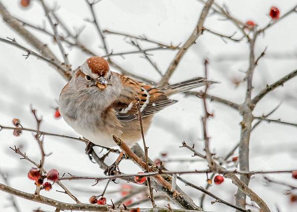 "<div class=""jaDesc""> <h4>Tree Sparrow in Winterberry Bush - January 18, 2018</h4> <p></p> </div>"