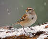 """<div class=""""jaDesc""""> <h4>Tree Sparrow in Snowy Evergreen - November 26, 2008 </h4> <p>  We now have 2 Tree Sparrows.  This gal arrived during a snow storm.  She must be happy with the menu because she is still around.  </p> </div>"""