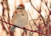 """<div class=""""jaDesc""""> <h4> Tree Sparrow Close-up - January 16, 2012 </h4> <p> Here is a close-up of one of our 8 Tree Sparrows in their favorite red-twig dogwood bush.  They look like a Chipping Sparrow except they have a dark spot on the breast. </p> </div>"""