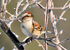 """<div class=""""jaDesc""""> <h4> Tree Sparrow in Tree with Hoar Frost - December 30, 2010 </h4> <p>   We now have 4 Tree Sparrows as regulars. I've always wondered how they got their name, since ours rarely hang out in the trees. They are always ground feeding. This morning we had hoar frost on all the trees and shrubs. The morning sun was just starting to light up the frost when this guy landed in a tree.</p> </div>"""