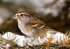 """<div class=""""jaDesc""""> <h4>Tree Sparrow in Snowy Evergreen - March 16, 2007 </h4> <p>  This Tree Sparrow's beak was full of snow from digging for sunflower seeds that I had tossed into this snowy evergreen.</p> </div>"""