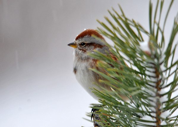 """<div class=""""jaDesc""""> <h4> Tree Sparrow in Red Pine - January 3, 2015 </h4> <p>Lots of snow coming down, some landing on her head.</p> </div>"""