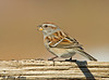 """<div class=""""jaDesc""""> <h4>Tree Sparrow with Millet Seed - February 15, 2009 </h4> <p>  The Tree Sparrows will only be around for another 4 to 5 weeks before they head back north till December.  This guy was happily feeding on white millet seeds.</p> </div>"""