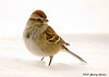 """<div class=""""jaDesc""""> <h4>Tree Sparrow in Winter - February 16, 2007 </h4> <p>  Tree Sparrows usually show up here in January, coming south from Canada.  They look just like Chipping Sparrows, but they also have a """"note"""" on their breast just like a Song Sparrow.</p> </div>"""