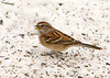 """<div class=""""jaDesc""""> <h4> Tree Sparrows Just Arrived - December 19, 2009 </h4> <p>  The first one showed up early this week and now we are up to six.  They are spending lots of time chasing the Juncos around even though there is plenty of seed on the ground for everyone.</p> </div>"""