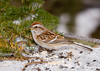 """<div class=""""jaDesc""""> <h4>Tree Sparrow Feeding - February 1, 2008 </h4> <p>  Four pair of Tree Sparrows showed up the day we had a lot of sleet.  They were peacefully feeding along with the Juncos and Redpolls.</p> </div>"""