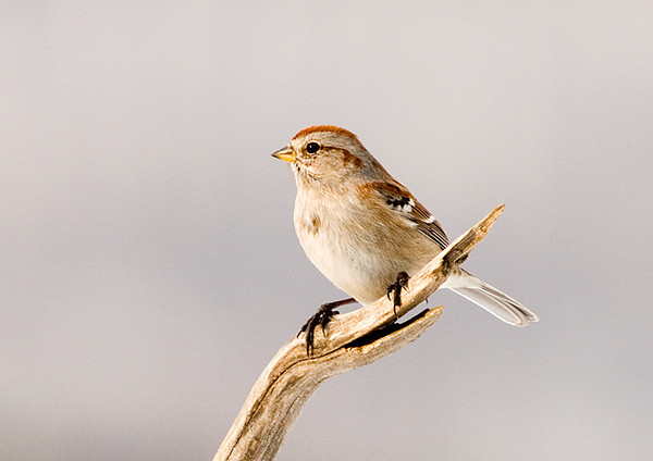 """<div class=""""jaDesc""""> <h4>Tree Sparrow on Sunny Perch - February 17, 2008 </h4> <p>  This Tree Sparrow is one of four that are still around.  They will be heading north soon.</p> </div>"""