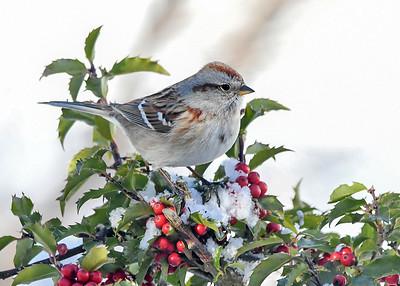 Tree Sparrow on Holly Perch - January 30, 2021