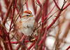 """<div class=""""jaDesc""""> <h4> Tree Sparrow in Red-twig Dogwood - January 8, 2012 </h4> <p>  We are up to 8 Tree Sparrow regulars now. This shot clearly shows the key field markings including the brown cap, brown eye stripe, dark note on breast, and upper / lower beak color difference.</p> </div>"""
