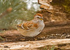 """<div class=""""jaDesc""""> <h4>Tree Sparrow Feeding - January 26, 2008 </h4> <p>  We haven't seen a Tree Sparrow in a few weeks. This morning there were 4 of them in at the feeders eating along with Juncos.</p> </div>"""