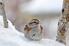 """<div class=""""jaDesc""""> <h4> Tree Sparrow in Frigid Weather - Jan 5, 2014 </h4> <p>  This little Tree Sparrow was doing his best to stay warm in the windy sub-zero weather. I went out mid-day and replenished the millet seed by tossing some on all the snow piles.  He tucked his feet down into the snow while he ate the seeds. </p> </div>"""