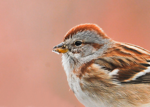 """<div class=""""jaDesc""""> <h4> Tree Sparrow Close-up - April 10, 2013 </h4> <p>  The last of the 6 Tree Sparrows we had here all winter headed North on April 16th.  The have been replaced by a recent influx of Chipping Sparrows.</p> </div>"""