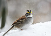 """<div class=""""jaDesc""""> <h4>White-throated Sparrow in Snow Storm - December 27, 2012 </h4> <p>We have one lone White-throated Sparrow that did not move on South.  He did not seem to mind the snow storm and came into the feeders all day long.  This is the first time we have had one stay over the winter.  I will keep him well fed.</p> </div>"""