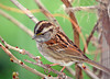 """<div class=""""jaDesc""""> <h4>Immature White-throated Sparrow on Wisteria Vine - April 23, 2006 </h4> <p> The facial markings on this immature first year White-throated Sparrow are a little further along than in the next photo.</p> </div>"""