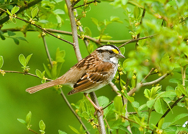 """<div class=""""jaDesc""""> <h4>White-throated Sparrow in Rose Bush - April 6, 2008 </h4> <p> This White-throated Sparrow was one of about a dozen hanging out around a secluded pond south of Lancaster, Pa.</p> </div>"""