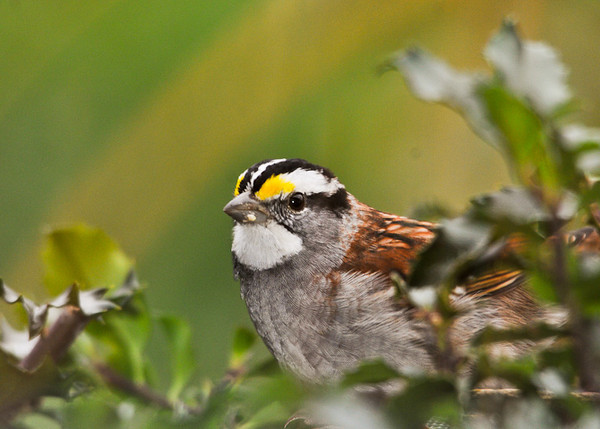 """<div class=""""jaDesc""""> <h4>White-throated Sparrow in Holly Bush - November 5, 2012 </h4> <p>These guys are hanging around later than usual this year.  The weather has been mild for this time of year plus I spread plenty of white millet seed in the tray feeders and on the ground for them.</p> </div>"""