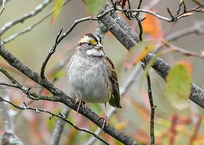 White-throated Sparrow Front Pose #1 - October 13, 2020