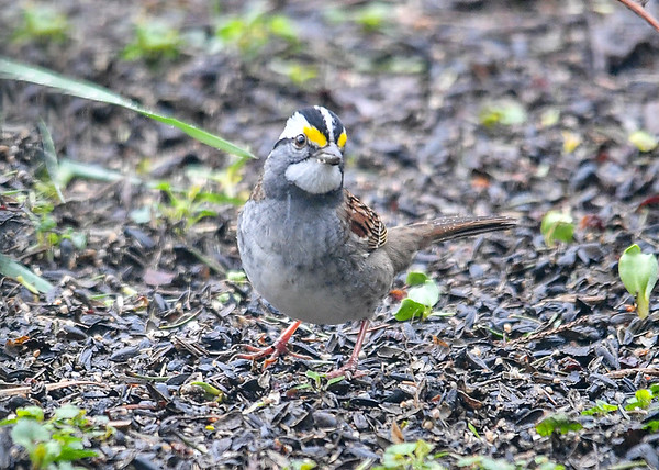 """<div class=""""jaDesc""""> <h4>White-throated Sparrow Looking Puzzled - April 29, 2019</h4> <p> </p></div>"""