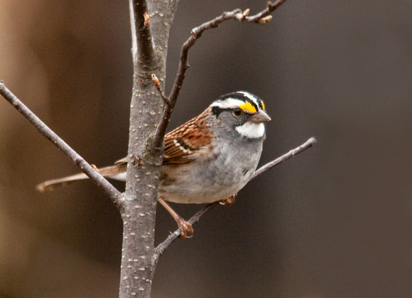 """<div class=""""jaDesc""""> <h4>White-throated Sparrow - 1st of Year - April 20, 2011 </h4> <p>I usually hear these guys before I see them. They hang out in the woods undergrowth across the road. When in our yard, they hop along the ground scratching for millet seeds.</p> </div>"""