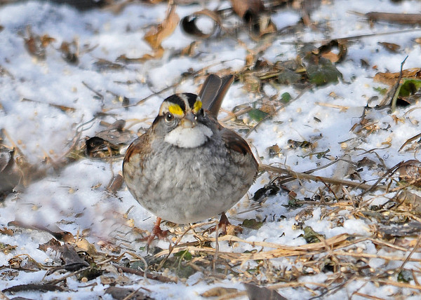 """<div class=""""jaDesc""""> <h4>White-throated Sparrow Scratching Snowy Ground - January 1, 2015 </h4> <p>This White-throated Sparrow was scratching the ground where I toss white millet seed.  They are very adept at finding all those little tan seeds.</p> </div>"""
