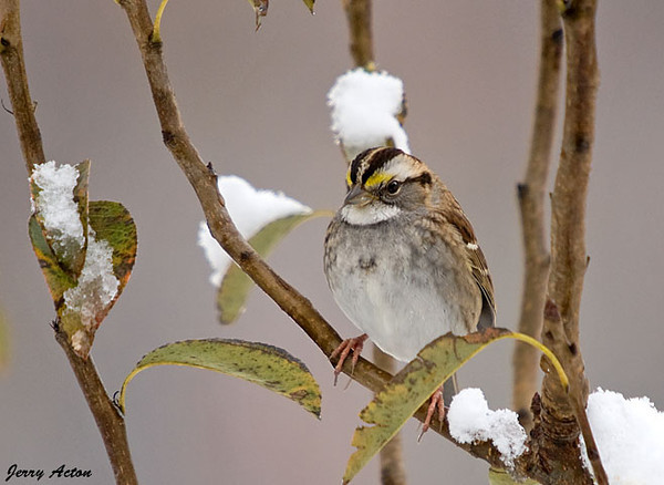 """<div class=""""jaDesc""""> <h4>White-throated Sparrow in Snowy Pear Tree - October 15, 2009 </h4> <p>I'm sure this White-throated Sparrow did not expect to find snow this early as he headed South.  He may not be staying much longer unless it warms up a bit.</p> </div>"""