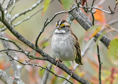 White-throated Sparrow Front Pose #2 - October 13, 2020