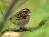 """<div class=""""jaDesc""""> <h4>White-throated Sparrow in Dense Brush - October 12, 2009 </h4> <p> I chased the sound of this White-throated Sparrow along the road for about 1/4 of a mile.  He  finally gave me a shooting lane for about 5 seconds.  He is passing through on his way South for the winter.  </p> </div>"""