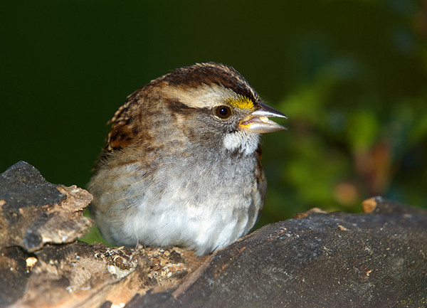 """<div class=""""jaDesc""""> <h4>White-throated Sparrow Close-up - October 22, 2008 </h4> <p>A White-throated Sparrow is still hanging around.  She has been a very cooperative subject, allowing me to get some nice close-ups like this one.</p> </div>"""