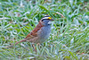 """<div class=""""jaDesc""""> <h4> White-throated Sparrow - 1st of Year - April 30, 2012 </h4> <p> Our first White-throated Sparrows of the year arrived on April 19th. The early arrivals must have been immature birds since their white and yellow markings were not as bright as this guy's.</p> </div>"""