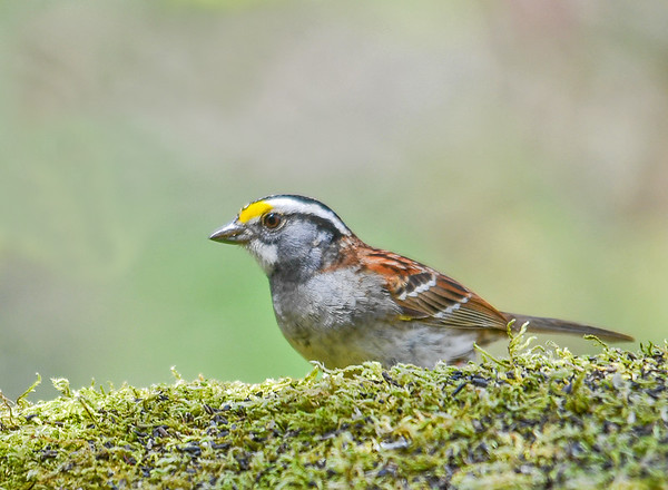 """<div class=""""jaDesc""""> <h4>White-throated Sparrow Facing Left - April 27, 2017 </h4> <p>Then she flipped around to give me a shot of her left side.</p></div>"""