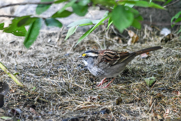 """<div class=""""jaDesc""""> <h4>White-throated Sparrow Ground Feeding - October 15, 2016 </h4> <p>This White-throated Sparrow is one of 4 who have stopped here on their migration south.  They usually stay for about a week before moving on.</p> </div>"""