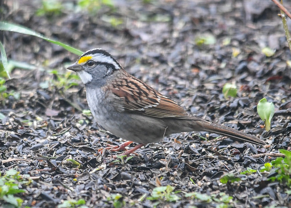 "<div class=""jaDesc""> <h4>White-throated Sparrow Ground Feeding - April 29, 2019</h4> <p>I love it when the White-throated Sparrows are passing through.  They usually hang out here for about 2 weeks. </p></div>"
