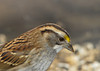 """<div class=""""jaDesc""""> <h4> Immature White-throated Sparrow - October 3, 2012 </h4> <p> White-throated Sparrows are migrating through our area now.  This is an immature 1st year bird; his white throat and stripes on his head are not yet as bright as the adults.</p> </div>"""