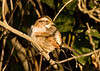"""<div class=""""jaDesc""""> <h4>White-throated Sparrow in Morning Sun - October 2006 </h4> <p> I noticed a White-throated Sparrow in the brush across the road from our house.  He was enjoying the warmth of the morning sun.</p> </div>"""