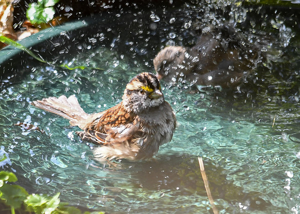 """<div class=""""jaDesc""""> <h4>White-throated Sparrow Bathing - October 16, 2016 </h4> <p>The sun came out and warmed the air this afternoon, so all the ground feeding birds decided to take baths.  This White-throated Sparrow was splashing along with 2 Juncos.</p> </div>"""