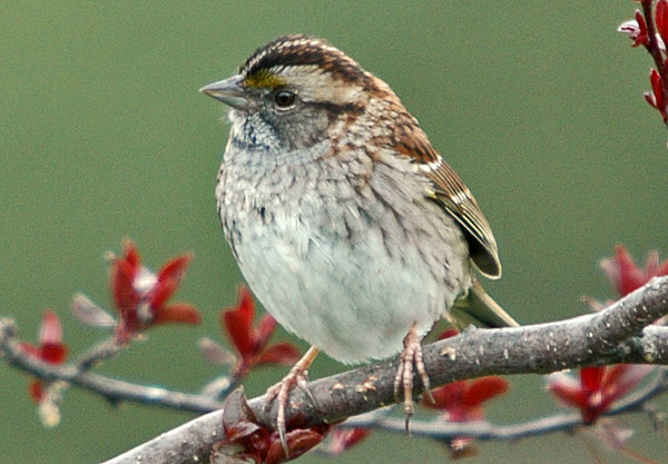 """<div class=""""jaDesc""""> <h4>Immature White-throated Sparrow in Crabapple Tree - April 23, 2006 </h4> <p> This is an immature first year White-throated Sparrow.  His white and yellow facial markings will get brighter by summer.</p> </div>"""
