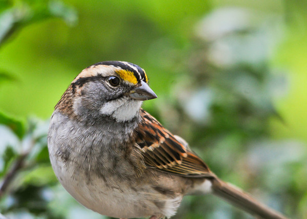"""<div class=""""jaDesc""""> <h4>Adult White-throated Sparrow - October 14, 2012 </h4> <p> We have about 6 White-throated Sparrows visiting daily.  They will stick around for another week or so, then continue their migration South.</p> </div>"""