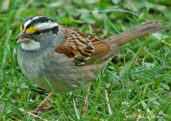 """<div class=""""jaDesc""""> <h4>White-throated Sparrow on Rainy Morning - April 22, 2006 </h4> <p> This is the first White-throated Sparrow I have noticed this year.  He was ground feeding on a soggy morning.</p> </div>"""