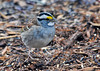 """<div class=""""jaDesc""""> <h4>White-throated Sparrow Ground Feeding - April 26, 2014 </h4> <p>This White-throated Sparrow arrived a week ago.  I have been hearing his call from the dense thicket every morning when I feed the birds.  He finally made an appearance under our red-twig dogwood bush this morning.</p> </div>"""