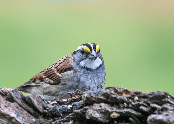 """<div class=""""jaDesc""""> <h4>White-throated Sparrow Looking at Me - October 23, 2018 </h4> <p></p></div>"""