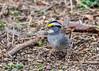 "<div class=""jaDesc""> <h4>White-throated Sparrow Ground Feeding - April 18, 2015 </h4> <p>This White-throated Sparrow's favorite feeding spot is under tall shrubs that provide plenty of cover.</p> </div>"