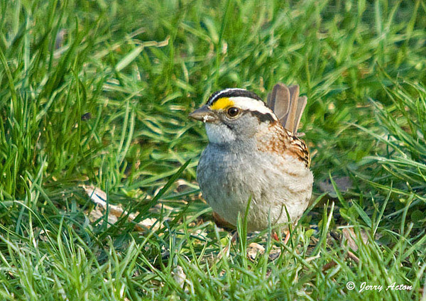 """<div class=""""jaDesc""""> <h4>White-throated Sparrow Arrives - April 18, 2009 </h4> <p>I was pleased to see this new arrival this morning, a White-throated Sparrow.  He was ground feeding among the grass that is starting to sprout in our front yard.  I love the bright yellow eyebrows.</p> </div>"""