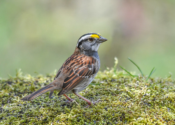 """<div class=""""jaDesc""""> <h4>White-throated Sparrow Close-up - April 27, 2017 </h4> <p>A White-throated Sparrow decided to land in my moss carpeted portrait studio.   She chased off 6 Goldfinches and snacked on sunflower chips for a few minutes.</p></div>"""